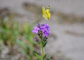 Butterfly in flight; taken in southeastern Nebraska