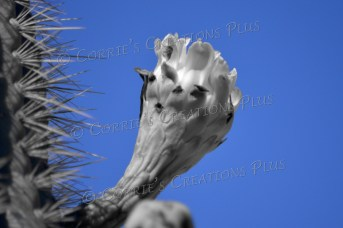 One-point color photo of the blue sky behind a Saguaro cactus blossom