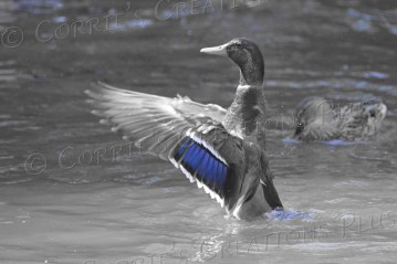 A one-point-color photo of a drake mallard