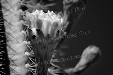 Saguaro cactus blossom