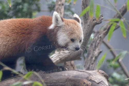 The red panda is a cute, adorable animal.
