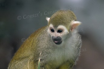 An absolutely adorable squirrel monkey