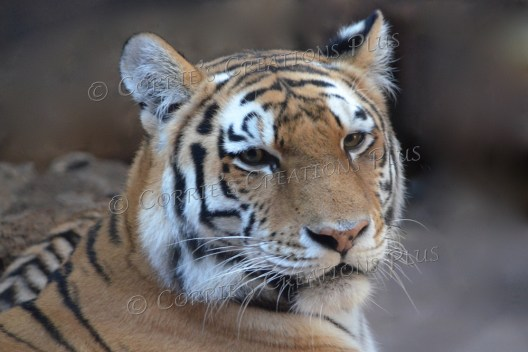 Mother Amur tiger; these tigers are native to eastern Russia.