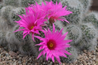 The blossoms of a mammillaria cactus, which is native to South America