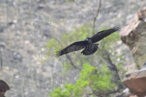 A lone raven soars over Seven Falls in Sabino Canyon, southeastern Arizona