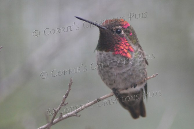 This photo of a hummingbird was taken in southern Arizona.
