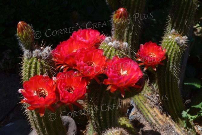 Red trumpet cactus in full bloom
