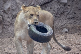 "This African lion doesn't ""tire"" easily!"