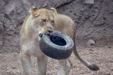 """This African lion doesn't """"tire"""" easily!"""