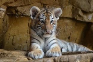 Amur tiger cub; notice his already large paws.