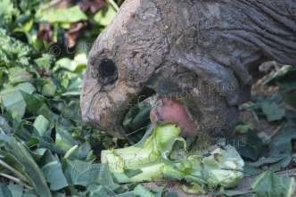 Tortoise eating a healthful lunch