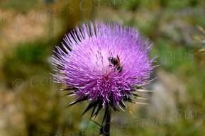 Honeybee on beautiful thistle in Madera Canyon, southeastern Arizona