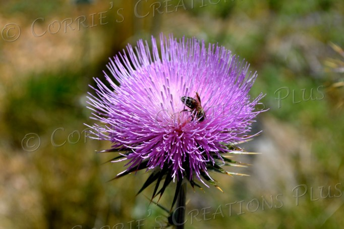 Honeybee on beautiful thistle in Madera Canyon, southeastern Arizona