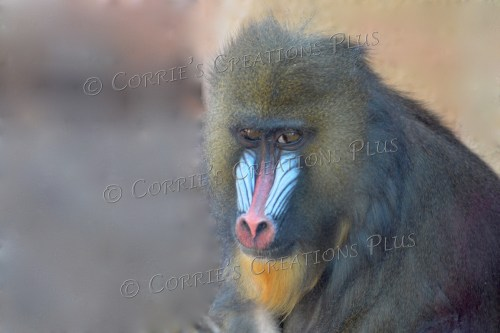 Mandrill; great colors!