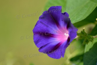 Morning glory. Photo taken in Lewiston, Nebraska