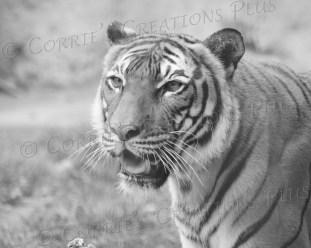 Closeup shot of the Malayan tiger