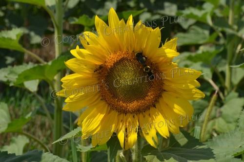 Three critters on this sunflower. Photo taken near Adams, Nebraska