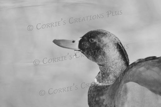 Drake mallard; notice the droplet of water hanging from his beak.