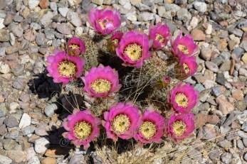 A cluster of hedgehog cactus in full bloom