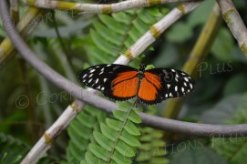 Orange-and-black tropical butterfly
