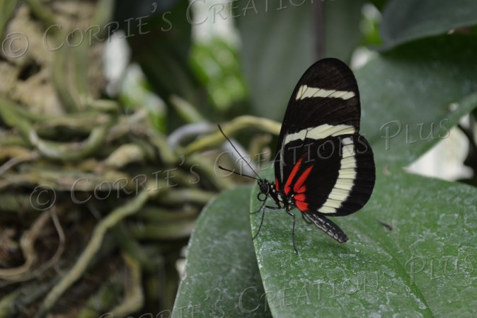 Black, red, and white tropical butterfly