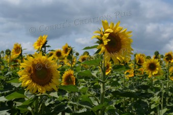 Field of sunflowers. Photo taken near Adams, Nebraska