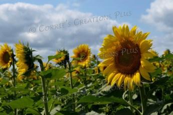 This field of sunflowers was breathtaking. Near Adams, Nebraska