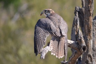 Prairie falcon; I love the way I was able to capture his left wing.