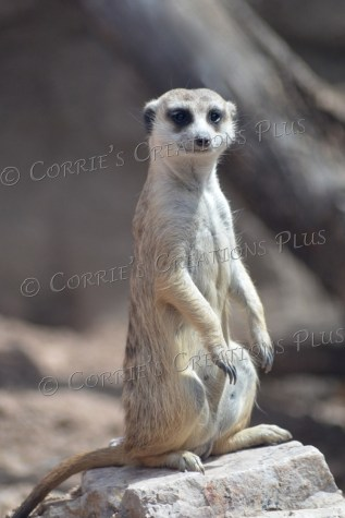 Meerkat as a sentry to watch over other family members
