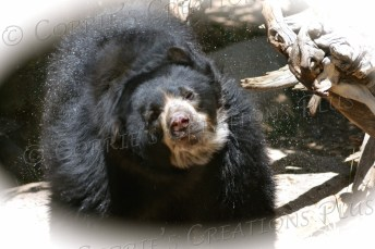 Andean bear shaking off water just after a swim