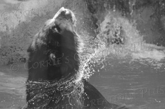 Andean bear enjoying a summer swim