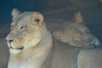 African lion and her cub
