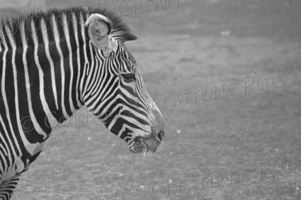 Zebra in profile