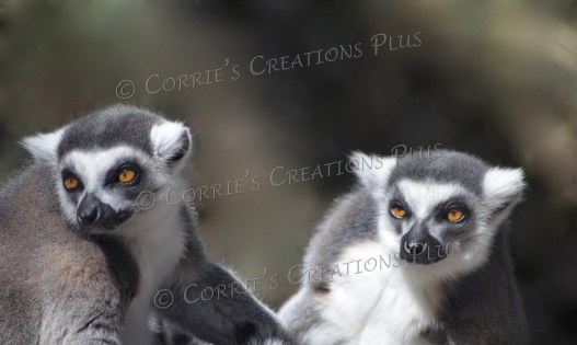 Two lemurs. I had to be patient in order to get two in the same photo, but it paid off.