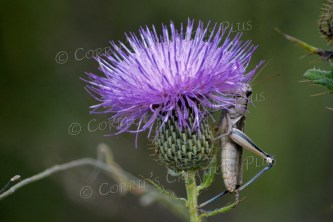 A grasshopper on a thistle. Photo taken near Ashland, Nebraska