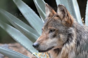 Agave cactus provides a nice backdrop for the Mexican gray wolf.