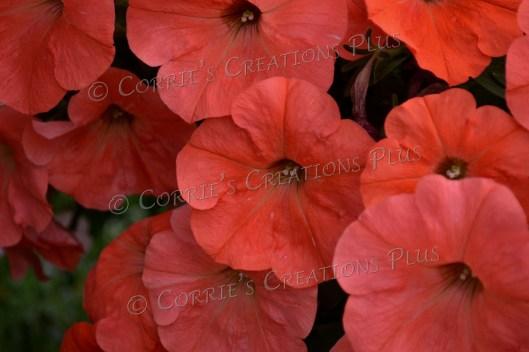 Orange petunias