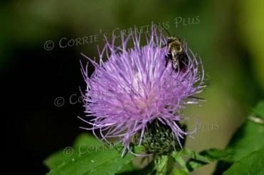 Thistle pollination. This photo was taken near Ashland, Nebraska.