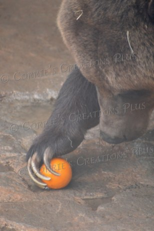 The grizzly bear snags an orange for breakfast.