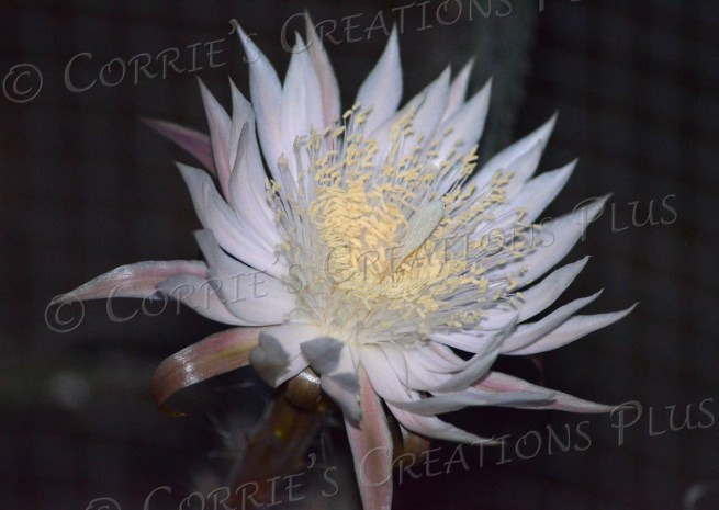 Night-blooming cereus cactus
