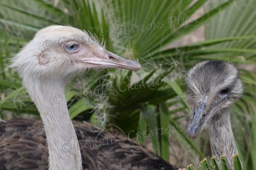 Two common rheas; native to South America