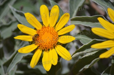 A honeybee pollinates on a sunflower.