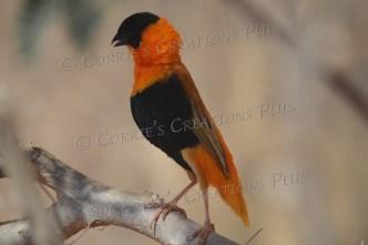 Orange bishop weaver; notice the open beak.