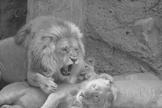 Lion cub wanted to play. Daddy lion definitely did not.