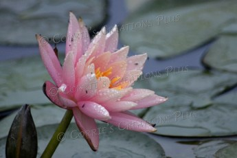 A water lily at the Sunken Gardens in Lincoln, Nebraska