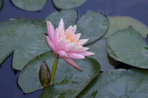 The Sunken Gardens in Lincoln, Nebraska, are home to beautiful water lilies.