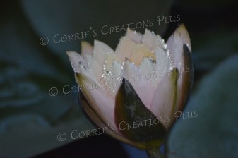 These water lily photos were taken shortly after an afternoon rain in Lincoln, Nebraska.