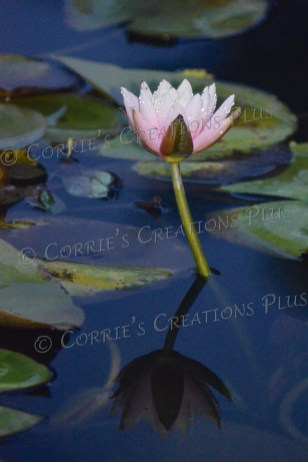 Notice the reflection of the water lily.