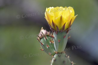 Yellow prickly-pear cactus blossom
