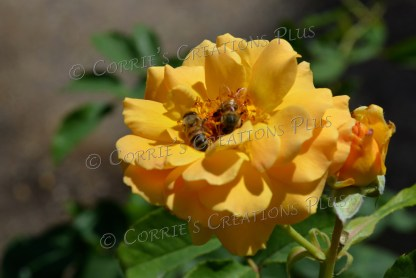 Pollinating honeybees on a yellow rose, Tucson, Arizona